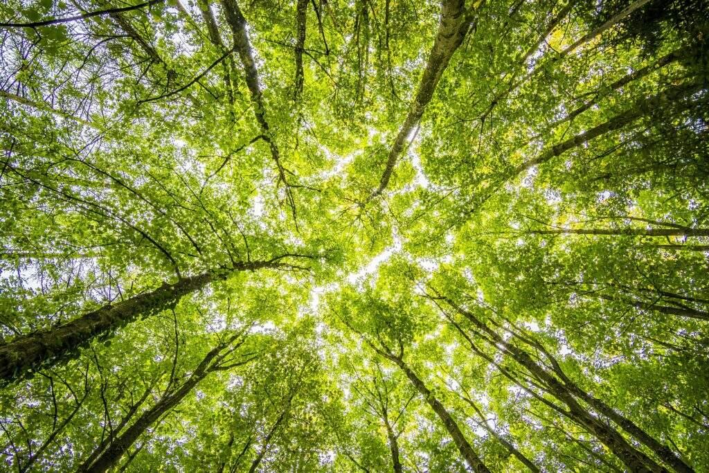 Imagem da copa das árvores vistas de baixo para cima, representando o verde que representa o Conteúdo Evergreen.
